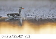 Купить «Greylag Goose (Anser anser) on water, Liminka, Finland, May», фото № 25421732, снято 16 декабря 2018 г. (c) Nature Picture Library / Фотобанк Лори