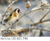 Купить «Goldfinch (Carduelis carduelis) on snow covered branch, Helsinki Finland, December», фото № 25421740, снято 19 марта 2019 г. (c) Nature Picture Library / Фотобанк Лори