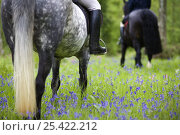 Купить «Horse-riding through bluebell wood, Brecon Beacons National Park, Powys, Wales, UK, Model released», фото № 25422212, снято 24 февраля 2018 г. (c) Nature Picture Library / Фотобанк Лори