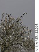 Купить «Woodpigeon (Columba palumbus) flock in tree, Norfolk, England, UK, February», фото № 25422564, снято 22 февраля 2019 г. (c) Nature Picture Library / Фотобанк Лори