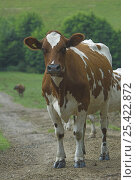 Ayrshire cow (Bos taurus) standing on farm track, UK. Стоковое фото, фотограф Colin Seddon / Nature Picture Library / Фотобанк Лори