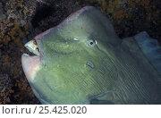 Купить «Head of Parrotfish {Scarus sp} showing hard beak for feeding on coral, Indo-Pacific», фото № 25425020, снято 10 июля 2020 г. (c) Nature Picture Library / Фотобанк Лори