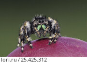 Daring Jumping Spider {Phidippus audax} adult on fruit of Texas Prickly Pear Cactus (Opuntia lindheimeri) Rio Grande Valley, Texas, USA, June. Стоковое фото, фотограф Rolf Nussbaumer / Nature Picture Library / Фотобанк Лори
