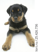 Two Rottweiler pup, 8 weeks old, lying down. Стоковое фото, фотограф Jane Burton / Nature Picture Library / Фотобанк Лори