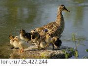 Купить «Mallard duck (Anas platyrhynchos) female with ducklings on rock beside water, Marne, France. April», фото № 25427244, снято 27 июня 2019 г. (c) Nature Picture Library / Фотобанк Лори