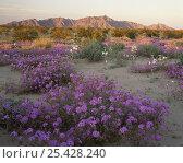 Desert Sand Verbena (Abronia villosa) and Desert Lillies (Hesperocallis undulata) at sunset, Mohawk Dunes, Barry M. Goldwater Range, Arizona. Стоковое фото, фотограф Jack Dykinga / Nature Picture Library / Фотобанк Лори