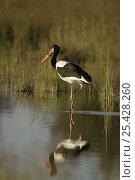 Купить «Yellow-eyed Saddle-Billed Stork (Ephippiorhynchus senegalensis) female in the Okavango Delta Wetlands, Botswana», фото № 25428260, снято 17 июня 2019 г. (c) Nature Picture Library / Фотобанк Лори