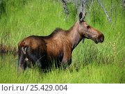 Купить «Female Moose (Alces alces) in long grass, Alaskan Highway, Alaska, USA», фото № 25429004, снято 24 февраля 2019 г. (c) Nature Picture Library / Фотобанк Лори