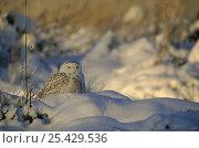Snowy Owl (Bubu scandiaca) standing in snow. Hyvinkää, Finland. March. Стоковое фото, фотограф Markus Varesvuo / Nature Picture Library / Фотобанк Лори