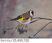 Купить «Goldfinch (Cardulelis carduaelis) singing on branch. Helsinki, Finland. December», фото № 25430720, снято 19 марта 2019 г. (c) Nature Picture Library / Фотобанк Лори
