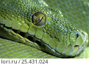 Green tree python (Chondopython / Morelia viridis) captive, from rainforests of New Guinea and extreme northern Queensland. Стоковое фото, фотограф Mark Carwardine / Nature Picture Library / Фотобанк Лори