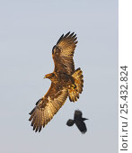Golden Eagle (Aquila chrysaetos) in flight being harrassed by raven. Utajärvi, Finland. February. Стоковое фото, фотограф Markus Varesvuo / Nature Picture Library / Фотобанк Лори