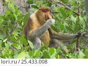 Proboscis monkey (Nasalis larvatus) adult male feeding on mangroves. Bako National Park, Sarawak, Borneo. Стоковое фото, фотограф Nick Garbutt / Nature Picture Library / Фотобанк Лори