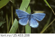 Купить «Adonis blue butterfly male (Polyommatus bellargus) UK», фото № 25433208, снято 15 августа 2018 г. (c) Nature Picture Library / Фотобанк Лори
