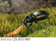 Ground beetle {Calosoma sycophanta} feeding on insect larva, Stara Planina Mt, Bulgaria. Стоковое фото, фотограф Georgi Tzonev / Nature Picture Library / Фотобанк Лори