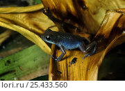 Купить «Strawberry poison arrow frog {Dendrobates pumilio} blue race, captive, from Costa Rica», фото № 25433560, снято 29 мая 2020 г. (c) Nature Picture Library / Фотобанк Лори