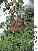 Orangutan {Pongo pygmaeus} in tree canopy, Tanjung Puting NP, Kalimantan, Borneo, Indonesia. Стоковое фото, фотограф Nature Production / Nature Picture Library / Фотобанк Лори