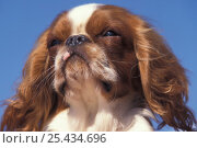 Domestic dog, Cavalier King Charles Spaniel portrait. Стоковое фото, фотограф Adriano Bacchella / Nature Picture Library / Фотобанк Лори