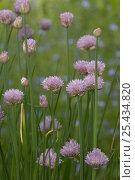 Купить «Chives in flower {Allium schoenoprasum}, UK», фото № 25434820, снято 20 февраля 2018 г. (c) Nature Picture Library / Фотобанк Лори