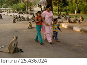 Купить «Tourists walk through a troop of Southern plains grey / Hanuman langur {Semnopithecus dussumieri} Mandore, nr Jodhpur. Rajasthan. India 2006», фото № 25436024, снято 22 марта 2019 г. (c) Nature Picture Library / Фотобанк Лори