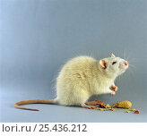 Купить «Albino Rat {Rattus sp} sitting up to sniff the air», фото № 25436212, снято 17 августа 2018 г. (c) Nature Picture Library / Фотобанк Лори