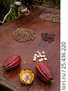 Купить «Stages of chocolate production. Whole cocoa pod (Theobroma cacao), split cacoa pod showing raw beans, raw beans removed from pod, dried and roasted beans. Ecuador, 2005», фото № 25436220, снято 20 августа 2018 г. (c) Nature Picture Library / Фотобанк Лори