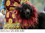 Купить «Tibetan Mastif domestic dog {Canis familiaris} at the Horse Racing Festival or 'Heavenly Steed Festival' which takes place on the 5th and 6th days of the...», фото № 25436540, снято 22 февраля 2018 г. (c) Nature Picture Library / Фотобанк Лори
