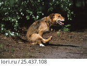 Купить «Lakeland Terrier x Border Collie scooting to relieve discomfort from its anal glands.», фото № 25437108, снято 16 июля 2018 г. (c) Nature Picture Library / Фотобанк Лори