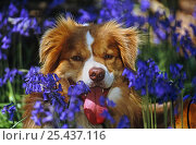 Купить «Red tricolour Border Collie dog, among Bluebells», фото № 25437116, снято 19 июля 2018 г. (c) Nature Picture Library / Фотобанк Лори