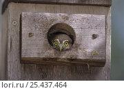 Juvenile Ferruginous Pygmy-Owl (Glaucidium brasilianum) in nest box, Willacy County, Rio Grande Valley, Texas, USA. June 2004. Стоковое фото, фотограф Rolf Nussbaumer / Nature Picture Library / Фотобанк Лори
