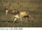 Fallow deer {Dama dama} male running, UK. Стоковое фото, фотограф John Cancalosi / Nature Picture Library / Фотобанк Лори