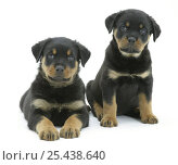Two Rottweiler pups, 8 weeks old. Стоковое фото, фотограф Jane Burton / Nature Picture Library / Фотобанк Лори