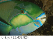 Купить «Close up of Parrotfish {Scarus sp} head showing mouth with 'beak', Indo pacific», фото № 25438824, снято 10 июля 2020 г. (c) Nature Picture Library / Фотобанк Лори