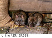 Купить «Two Brown rats {Rattus norvegicus} feeding from grain sack in farm building, Yorkshire, UK», фото № 25439588, снято 17 августа 2018 г. (c) Nature Picture Library / Фотобанк Лори