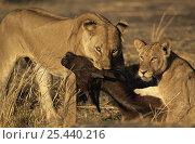 Купить «African lions {Panthera leo} killing young Buffalo, Katavi National Park, Tanzania», фото № 25440216, снято 16 августа 2018 г. (c) Nature Picture Library / Фотобанк Лори