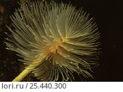 Giant fanworm / feather duster {Spirobranchus spallanzani} Mediterranean. Стоковое фото, фотограф Jurgen Freund / Nature Picture Library / Фотобанк Лори