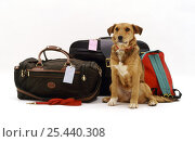 Купить «Lakeland Terrier x Border Collie bitch waiting hopefully beside some holiday luggage.», фото № 25440308, снято 16 июля 2018 г. (c) Nature Picture Library / Фотобанк Лори