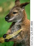 Купить «Red-necked wallaby {Macropus rufogriseus} Lamington NP, Queensland, Australia», фото № 25441488, снято 19 сентября 2019 г. (c) Nature Picture Library / Фотобанк Лори
