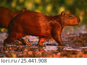 Capybara {Hydrochoerus hydrochaeris} Pantanal, Brazil. Стоковое фото, фотограф Pete Oxford / Nature Picture Library / Фотобанк Лори