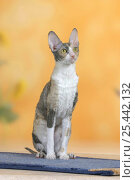 Cornish Rex Cat, bicolor blue-tortie. Стоковое фото, фотограф Petra Wegner / Nature Picture Library / Фотобанк Лори