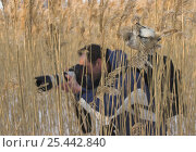 Photographer Markus Varesvuo taking photographs in reedbed, with Bearded tit, Finland. Стоковое фото, фотограф Markus Varesvuo / Nature Picture Library / Фотобанк Лори