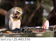 Купить «Vervet monkey (Chlorocebus / Cercopithecus aethiops) eating food scraps raided from bin despite the grill on top of the bin intended to stop them, Kenya», фото № 25443516, снято 20 марта 2018 г. (c) Nature Picture Library / Фотобанк Лори