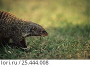 Купить «Banded mongoose {Mungos mungo} feeding on bird prey, Queen Elizabeth NP, Uganda», фото № 25444008, снято 23 февраля 2020 г. (c) Nature Picture Library / Фотобанк Лори
