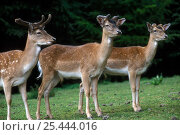 Купить «Three male Fallow deer {Dama dama} showing different stages of antler growth, Germany.», фото № 25444016, снято 21 марта 2018 г. (c) Nature Picture Library / Фотобанк Лори