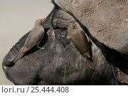 Купить «Red Billed Oxpeckers {Buphagus erythorhynchus} on buffalo head, Nakuru, Kenya.», фото № 25444408, снято 27 июня 2019 г. (c) Nature Picture Library / Фотобанк Лори
