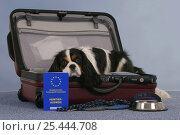 Купить «Domestic dog, Cavalier King Charles Spaniel, tricolor, in open suitcase and vaccination card, bowl and leash», фото № 25444708, снято 21 февраля 2020 г. (c) Nature Picture Library / Фотобанк Лори
