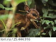 Bate's pygmy / dwarf antelope {Neotragus batesi}  Epulu, Ituri Rainforest Reserve, Dem Rep Congo. Стоковое фото, фотограф Jabruson / Nature Picture Library / Фотобанк Лори