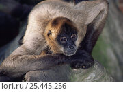 Купить «Black handed / Geoffroy's spider monkey {Ateles geoffroyi} male, captive, from Central America», фото № 25445256, снято 20 января 2020 г. (c) Nature Picture Library / Фотобанк Лори