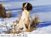 Купить «Domestic dog, English springer spaniel, in snow, Wisconsin, USA», фото № 25445432, снято 20 ноября 2017 г. (c) Nature Picture Library / Фотобанк Лори