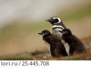 Magellanic penguin {Spheniscus magellanicus / magellani} adult with chicks, Falkland Islands. Стоковое фото, фотограф Solvin Zankl / Nature Picture Library / Фотобанк Лори
